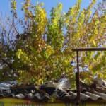 İş yerinin ortasındaki dut ağacı görenleri şaşırtıyor