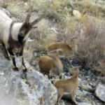 Aladağlar'da yaban keçisi sayısı 20'den 1783'e çıktı