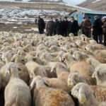 Bayburt'ta 4 çiftçiye 400 koyun verildi