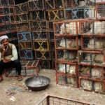 Hindistan'da Cammu Keşmir'de olası kuş gribi salgını nedeniyle alarma geçildi