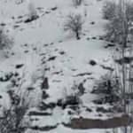 Çukurca'da yabani domuz sürüsü görüntülendi