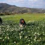 Karaburun'da yetiştirilen nergiste talebe yetişemiyorlar