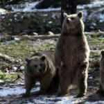 Kış geldi, ayıların yine uykusu gelmedi