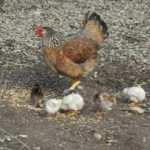 Ortadan kaybolan tavuk civcivlerle döndü