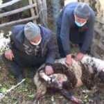 Pitbull dehşeti! Koyun ve kuzuları telef etti