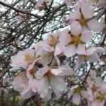 Erken çiçek açan meyve ağaçları için don tehlikesi