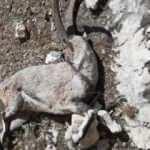 Nesli tehlike altındaki 7 yaban keçisi telef oldu