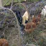 Tavuklar için 40 metrelik tünel yaptı