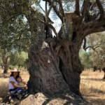 Hobi amaçlı tarla satın aldı 3200 yıllık zeytin ağacının sahibi oldu!