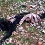 Kurtlar sürüye saldırdı, hamile keçileri parçalayıp götürdüler!