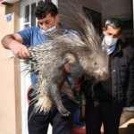 Nesli tükenmekte olan oklu kirpi yaralı halde bulundu