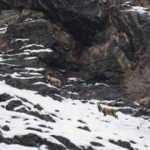 Pülümür Vadisi'nde boz ayı ve yaban keçileri görüntülendi