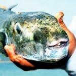 Balon balığı yiyen gemi kaptanı öldü! Aşçıyı dinlemediler