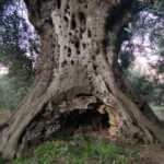 Bin 500 yıllık ağaçtan üretiliyor, kilosu 700 lira