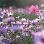 'Baharın müjdesi' cemrelerin ilki 19-20 Şubat'ta havaya düşecek