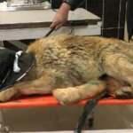 Bingöl'de yaralı bulunan kurt tedaviye alındı