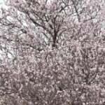 Mardin'de, Şubat'ta badem ağaçları çiçeklendi