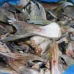 Mersin'de 4 bin 66 adet balon balığı kuyruğu