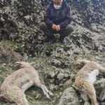 Tunceli'de, koruma altındaki dağ keçilerinin ölümünde 'koyun sürüsü' iddiası