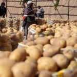Ziraat Odaları Birliği'nden patates ve soğan tavsiyesi!
