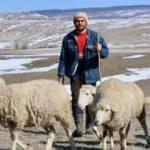 Avukatlık yerine çobanlığı tercih etti!