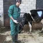 Hatay'da ineğin karnından 15 kilo halat çıktı!