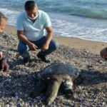 Sahile ölü Nil kaplumbağası vurdu