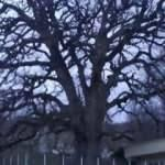 Sinop'ta bin yıllık meşe 'anıt ağaç' oluyor