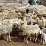 Başıboş köpeklerden şikayetçi! 6 koyunu telef ettiler