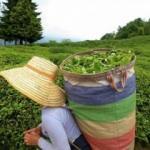 Türk çayı iki ayda 3,1 milyon dolar kazandırdı