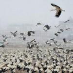 Göç yolundaki leyleklerden Konya'ya zorunlu iniş