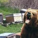 Hakkari'de kış uykusundan uyanan ayılar, 150 kovana zarar verdi