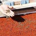 Tarımda zamansız ilaçlama arıları öldürüyor