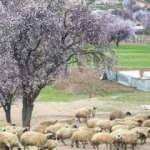 Tunceli'nin badem ağaçlarına bahar geldi