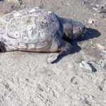 130 kiloluk kaplumbağa sahile vurdu