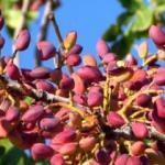 Antep fıstığında rekolte yüzde 40 düşecek