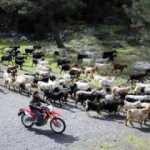 Teknolojik çoban: Keçilerini drone ile takip ediyor