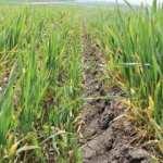 Edirne'de buğdayı zirai don vurdu!