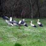 Tekirdağ'a göç eden leylekler, soğuktan etkilendi
