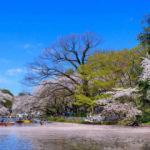 Tokyo'nun 'yeşil vahası' sakuralarla renklendi