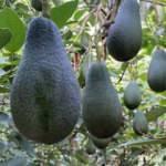 Türkiye'nin avokado üretimi 18 bin tonu buldu