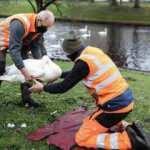 Danimarka'da 19 bin kaz ve ördek kuş gribi nedeniyle itlaf ediliyor