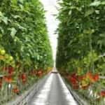 Jeotermal su ile ısıtılan seradan yurt dışına domates ihracatı