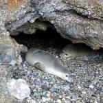 Mağarada 5 Akdeniz foku görüldü