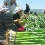 Sarımsak üretim merkezinde hasat başladı