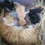 Yavru kedilerin 'nöbetçi annesi'