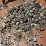 Ceviz kabuklarına gizlenmiş 153 kilo afyon sakızı ele geçirildi