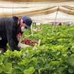 Çilek seralarında kadın işçilerin 'emek mücadelesi' devam ediyor