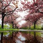 Berlin sakura ağaçlarıyla renklendi