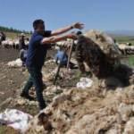Gaziantepli besicilerin koyun kırkma mesaisi